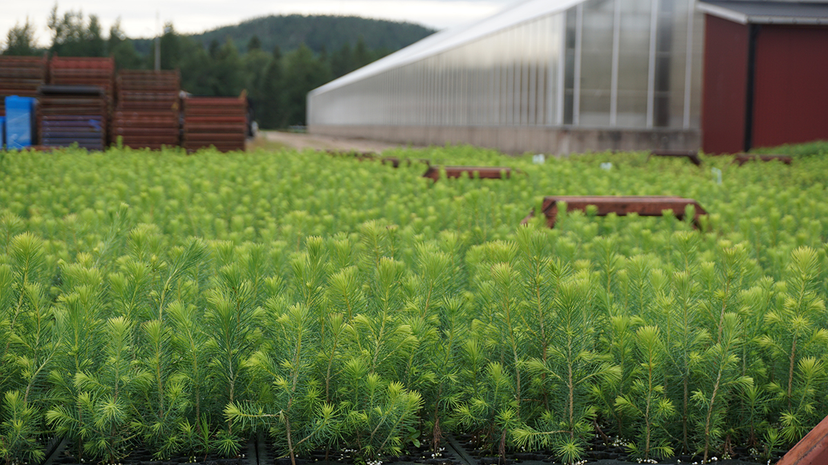 Baby Trees to Become Paperboard at Iggesund in Sweden